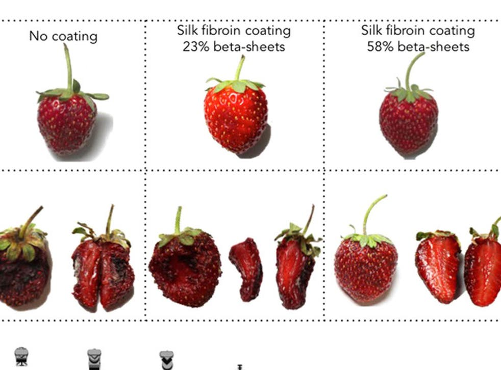 A coating made from silk helped preserve strawberries kept for a week at 22 degrees Celsius. The uncoated strawberry on the left did not fare well but the fruit with one type of coating on the right appears almost as fresh as it was seven days before.