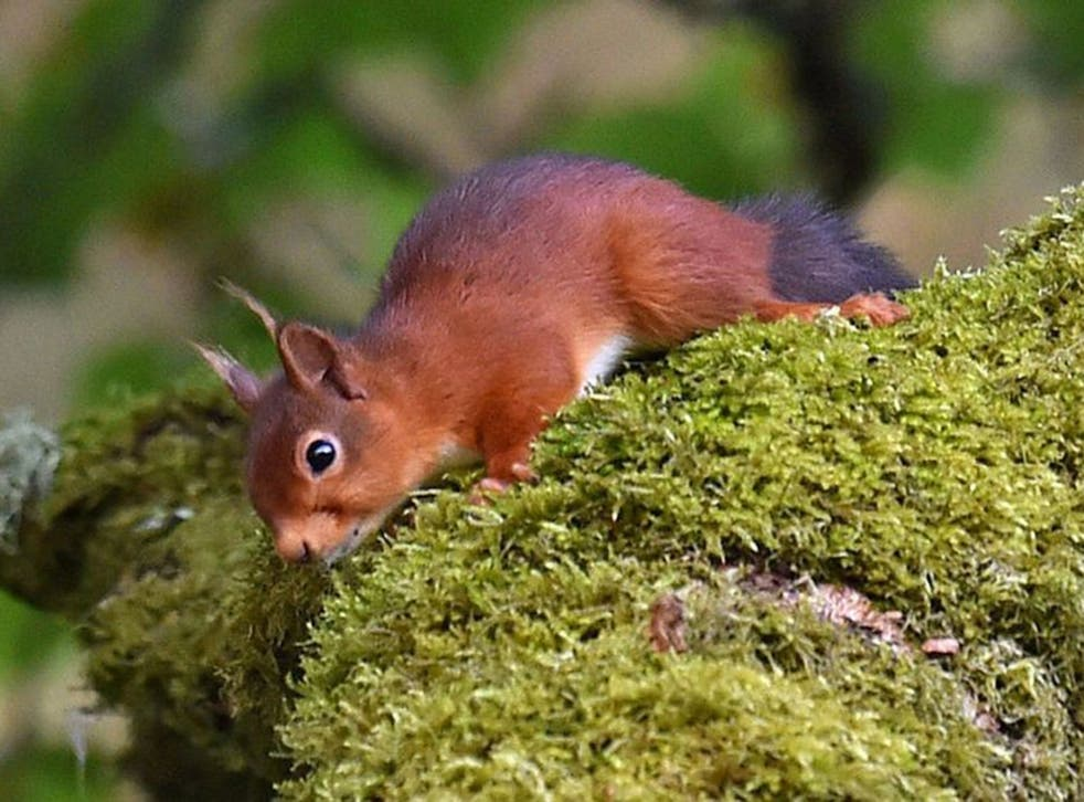 Numbers of red squirrels have fallen drastically to around 140,000 in the UK - with the majority in Scotland
