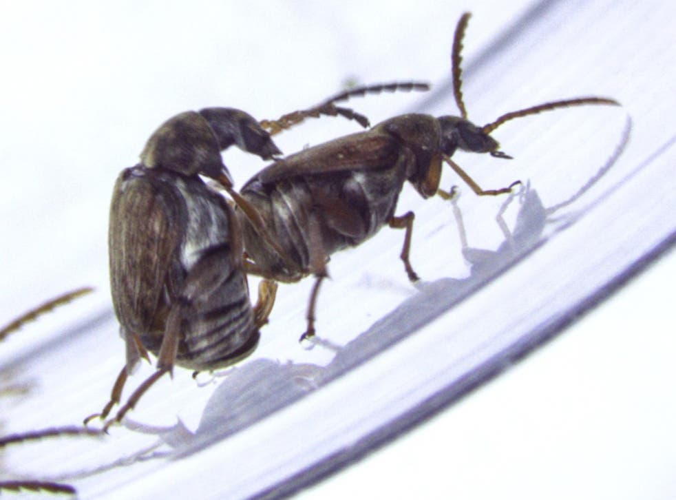 These are two male seed beetles. The male to the left is trying to insert his genitalia into the other male after having mounted him. This usually results in the mounted male kicking with his hind legs in an attempt to escape.