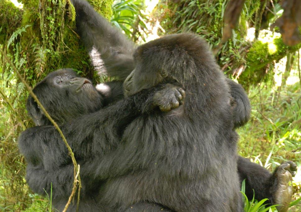 Gorilla having sex women video