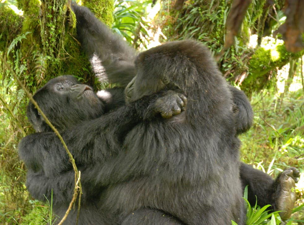 The first known picture of female gorillas having lesbian sex, taken by researcher Cyril Grueter