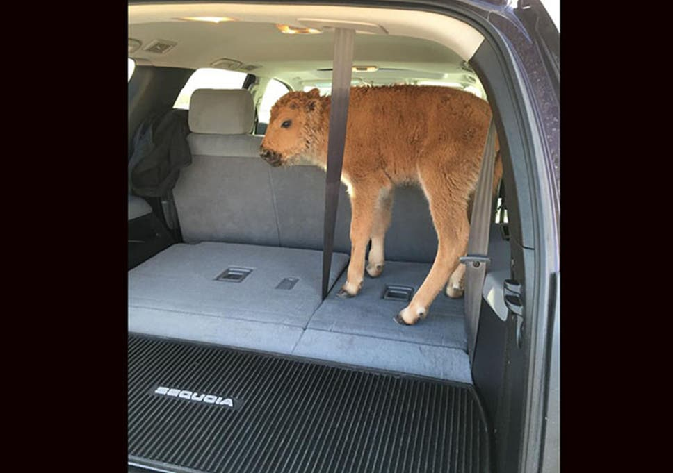 Yellowstone tourists put bison calf in car because they thought it
