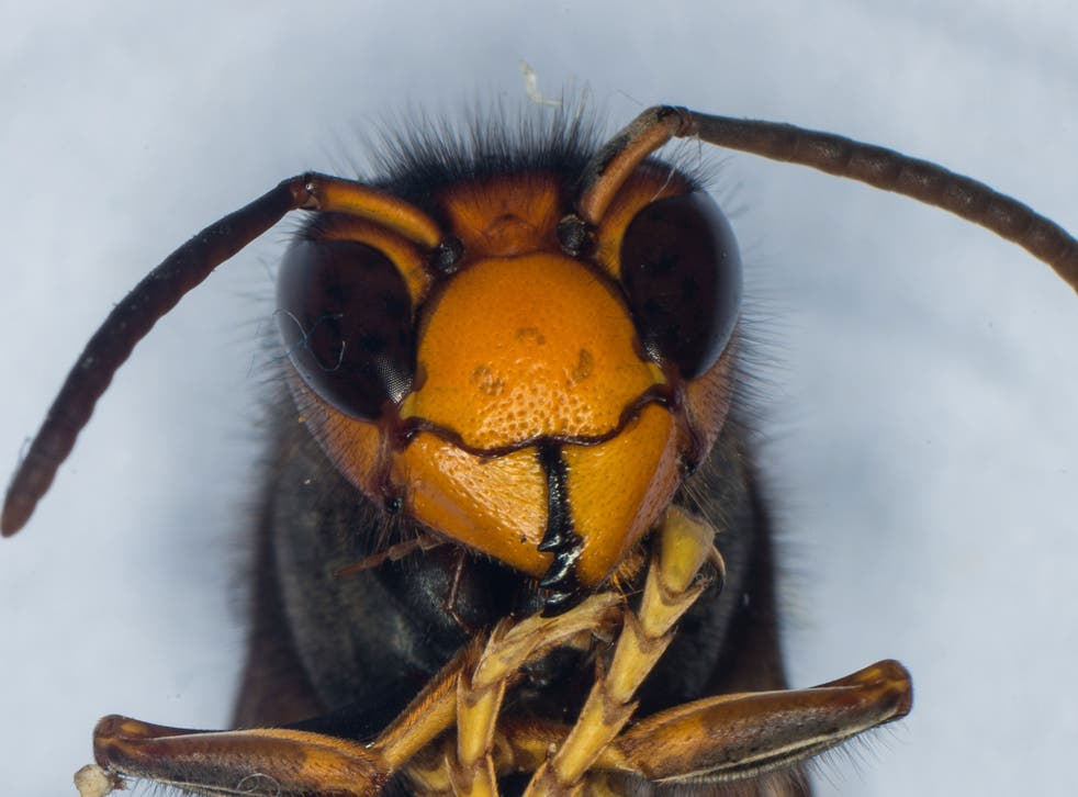 Asian hornets are thought to have arrived in France in 2004 in a shipment of pottery from China