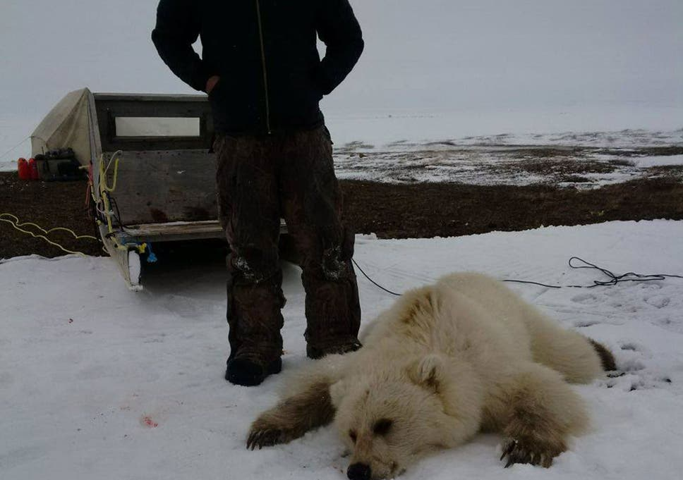 Polar Bears And Grizzly Bears Are Starting To Mate More Often And