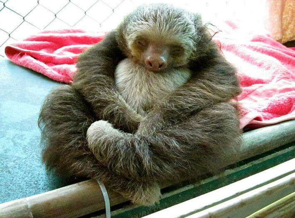 This sloth is huddling into itself out of discomfort due to a urinary tract problem