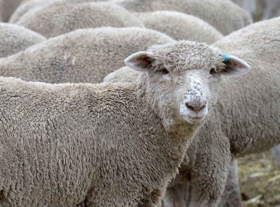 "Swansea councillor Ioan Richard said the flock of ""nuisance"" sheep had already been causing havoc in Rhydypandy"