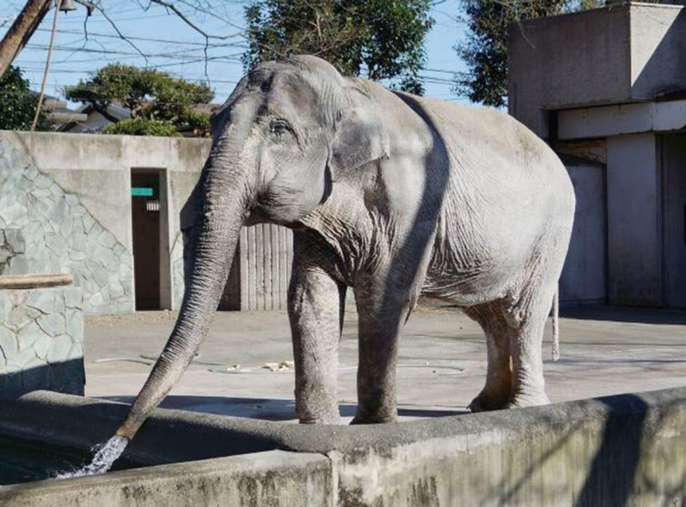 Hanako the elephant was the subject of a campaign to have her sent to a sanctuary in Thailand