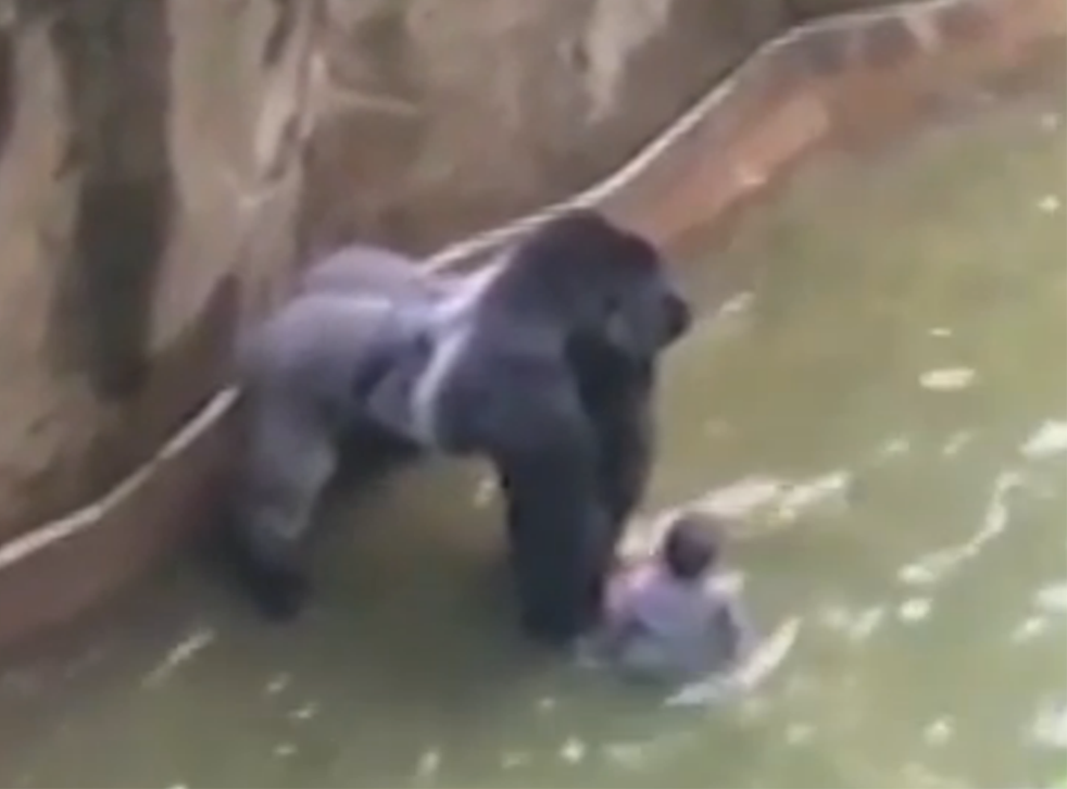 A four-year-old boy and Harambe, a 17-year-old gorilla, in the primate's enclosure at Cincinnati Zoo