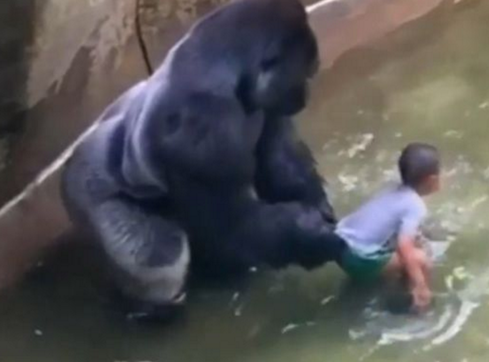 Video footage showed Harambe with the little boy