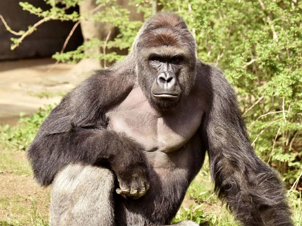 Harambe Was A 17 Year Old Silverback Western Lowland Gorilla