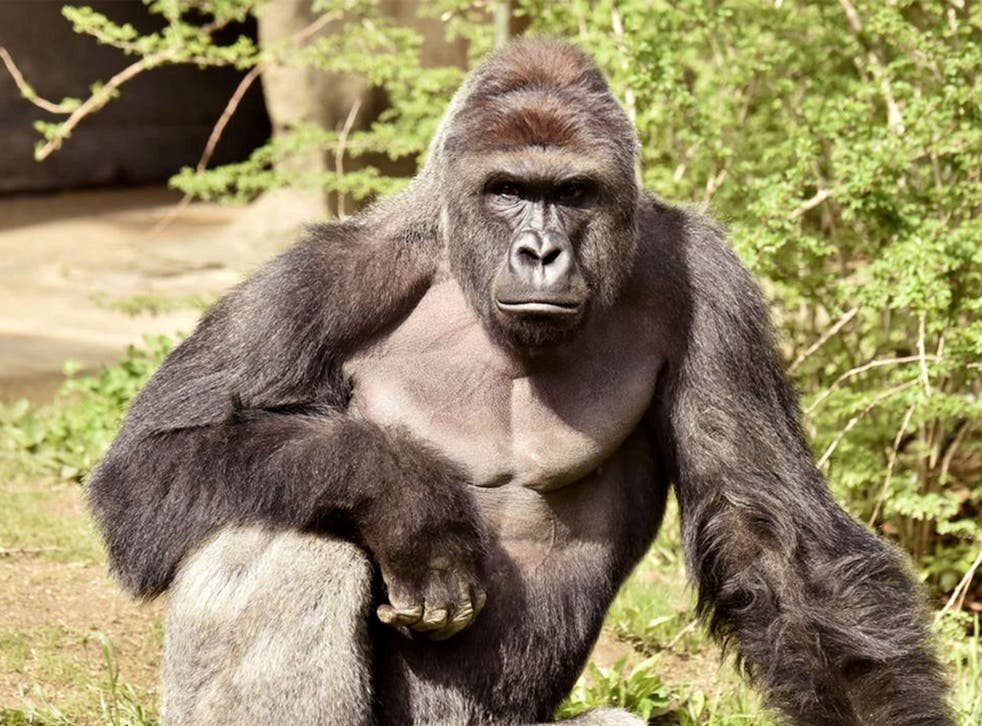 Harambe was a 17-year-old silverback western lowland gorilla