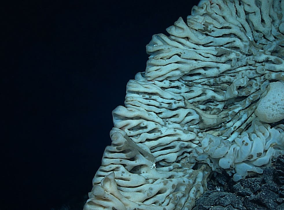 The world's largest sea sponge is 7,000 feet underwater in the waters off Hawaii