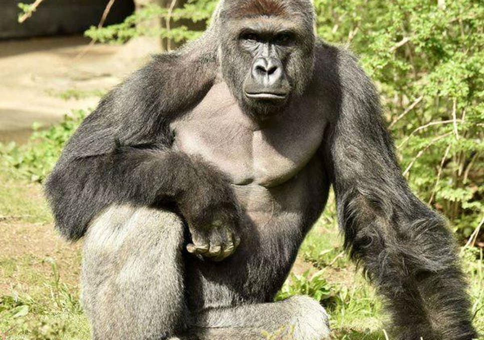 Australia Elections Voters Cast Ballot For Harambe The Killed