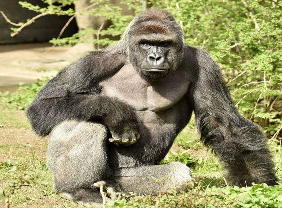 Voters are boycotting the system by voting for Harambe, the gorilla fatally shot by zoo workers at Cincinatti Zoo after a young boy fell into his enclosure
