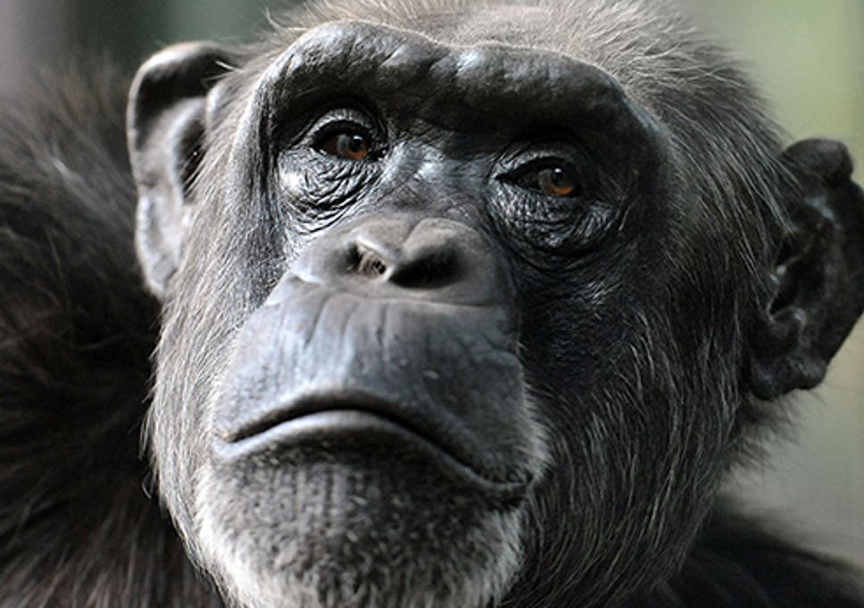 apes can think far more like humans than we thought study finds