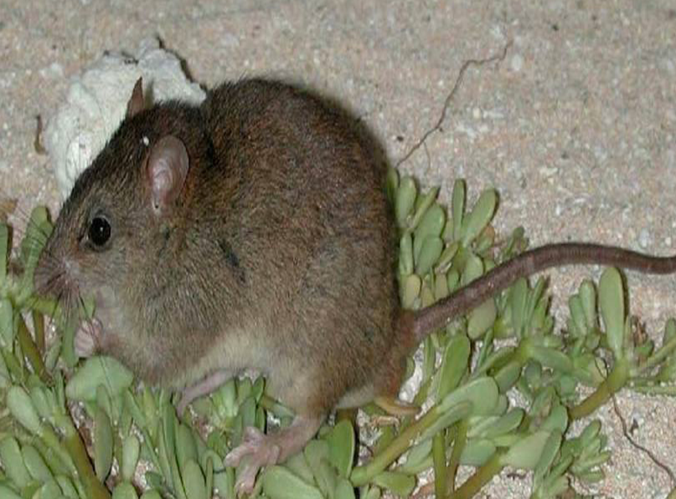 The Bramble Cay melomys is the first animal to have become extinct from human induced climate change and was last seen in 2009