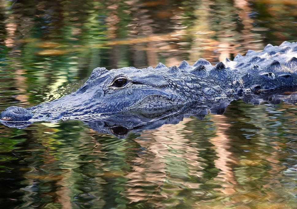 Florida Alligator Attack Thinking Of Making A Trip To Orlando