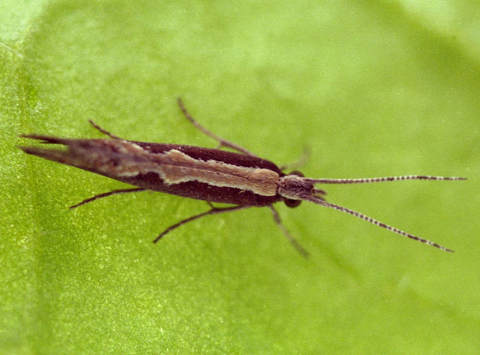 Diamondback moths (pictured) have been found to be resistant to most insecticides