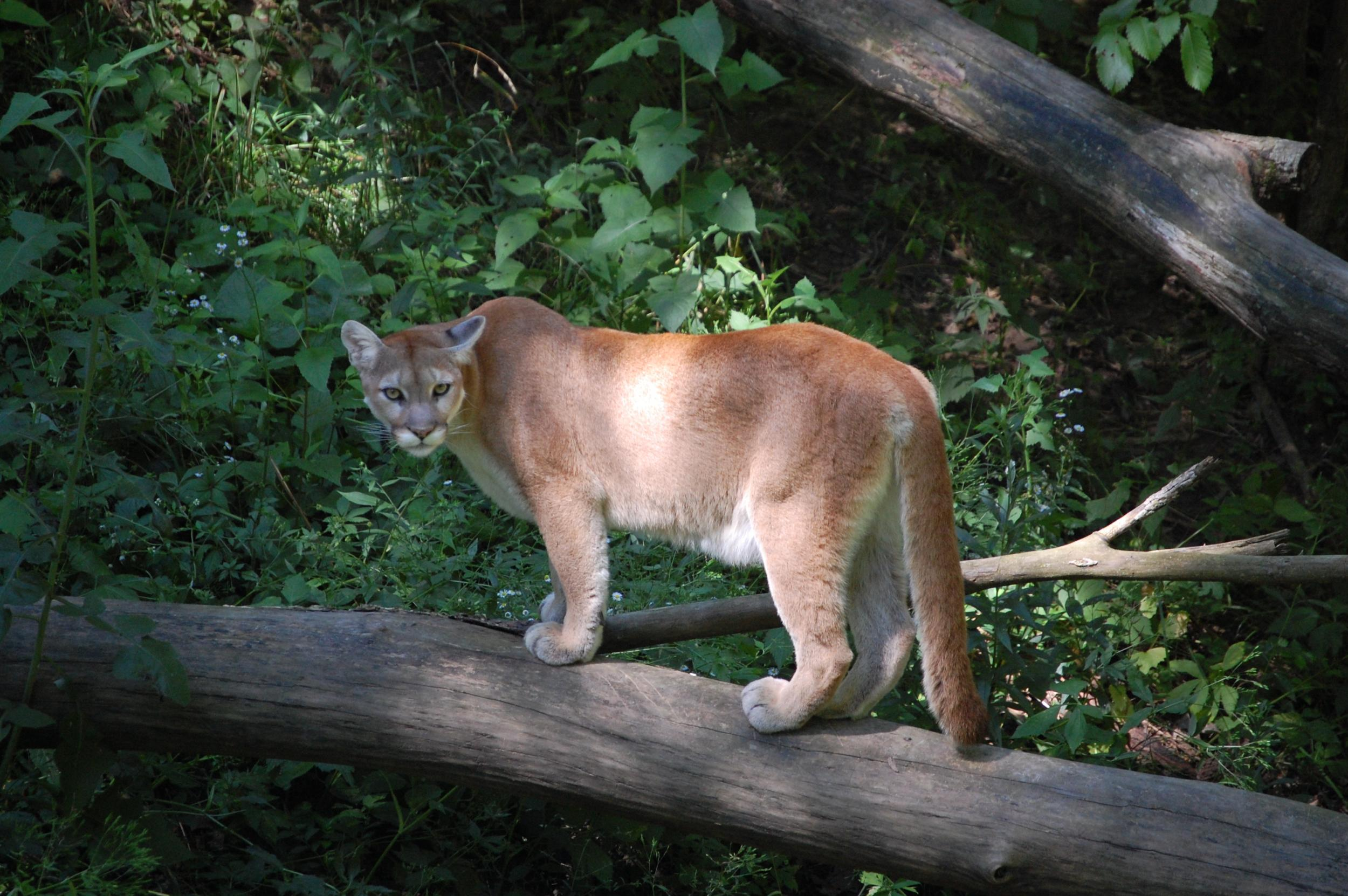 Mountain Lion Wanders Into Home And Kills Familys Pet Cat The