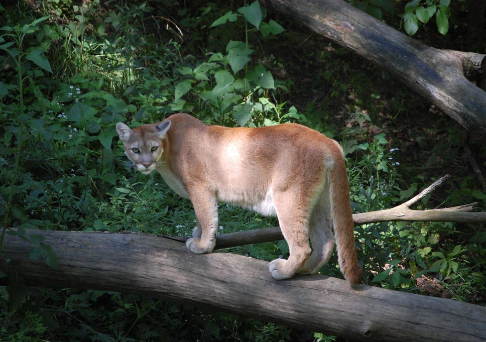 Woman Who Found A Mountain Lion In Her Living Room Shares How She Got It Out Her Home