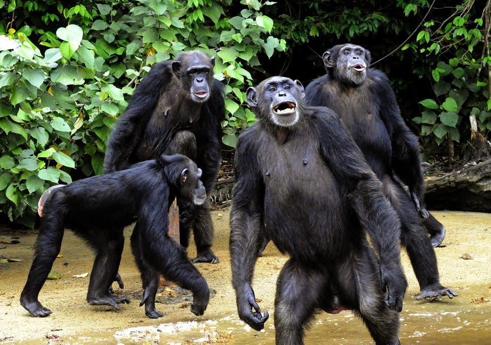 Chimpanzees have much cleaner beds than humans do dacb88af340