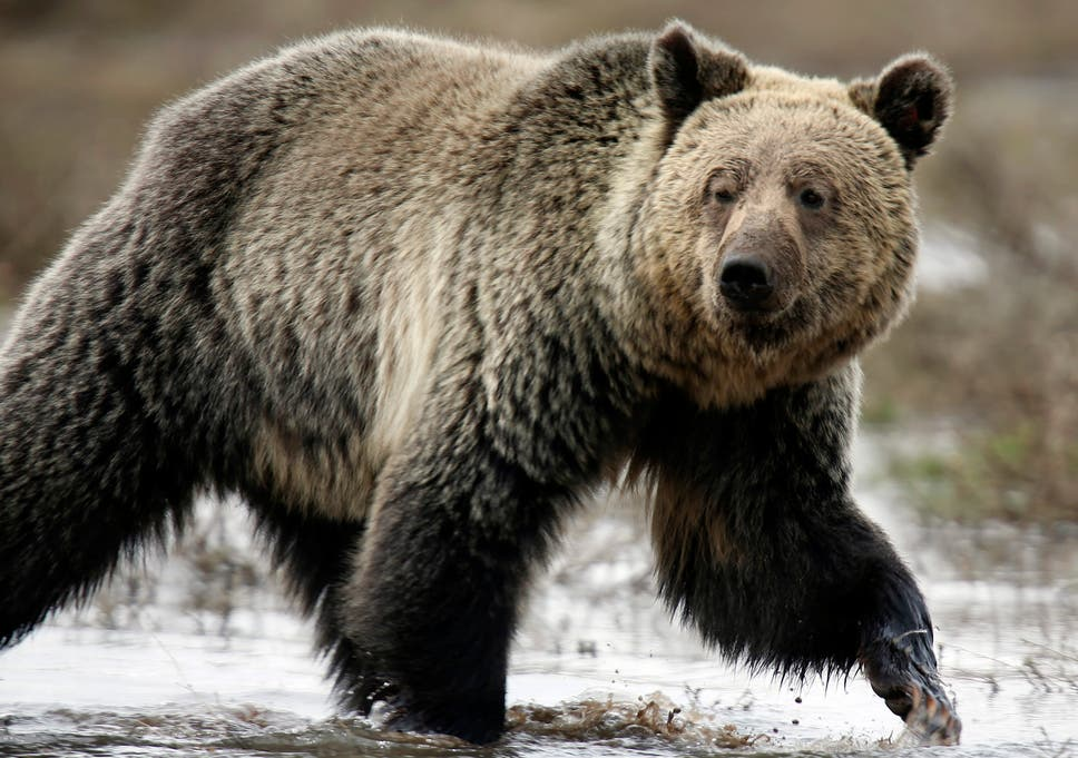 Dont Play Dead Too Soon Warns National Park After Bear Attack
