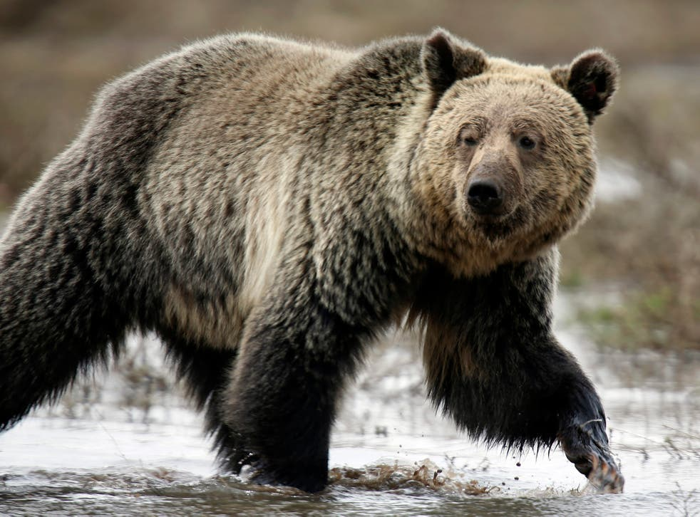 Grizzly Bears have been an endangered species but numbers have been increasing thanks to conservation efforts