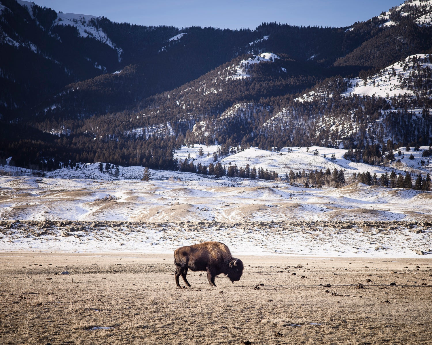 Into the wild with North America's buffalo scavengers | The Independentindependent_brand_ident_LOGOUntitled