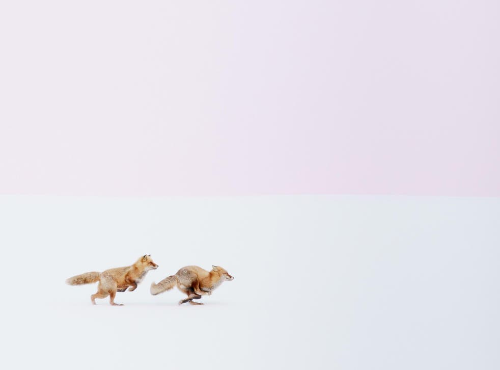 Foxes chase in the snow in Biei, Hokkaido, Japan