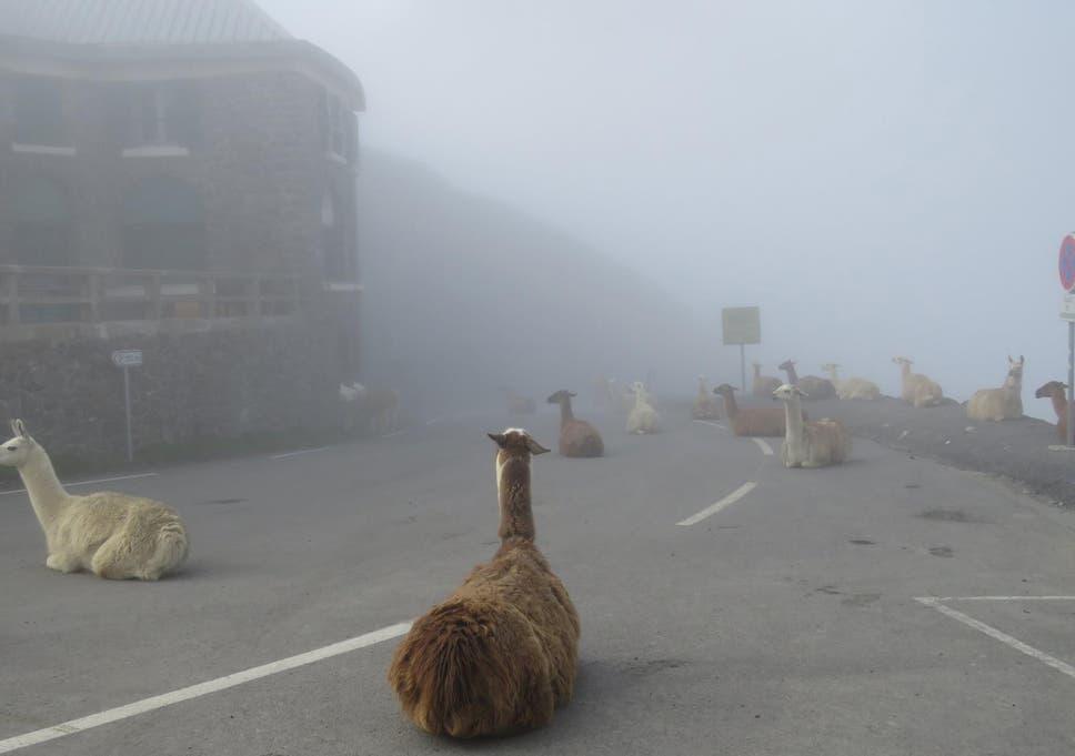 llamas.jpg?w968h681