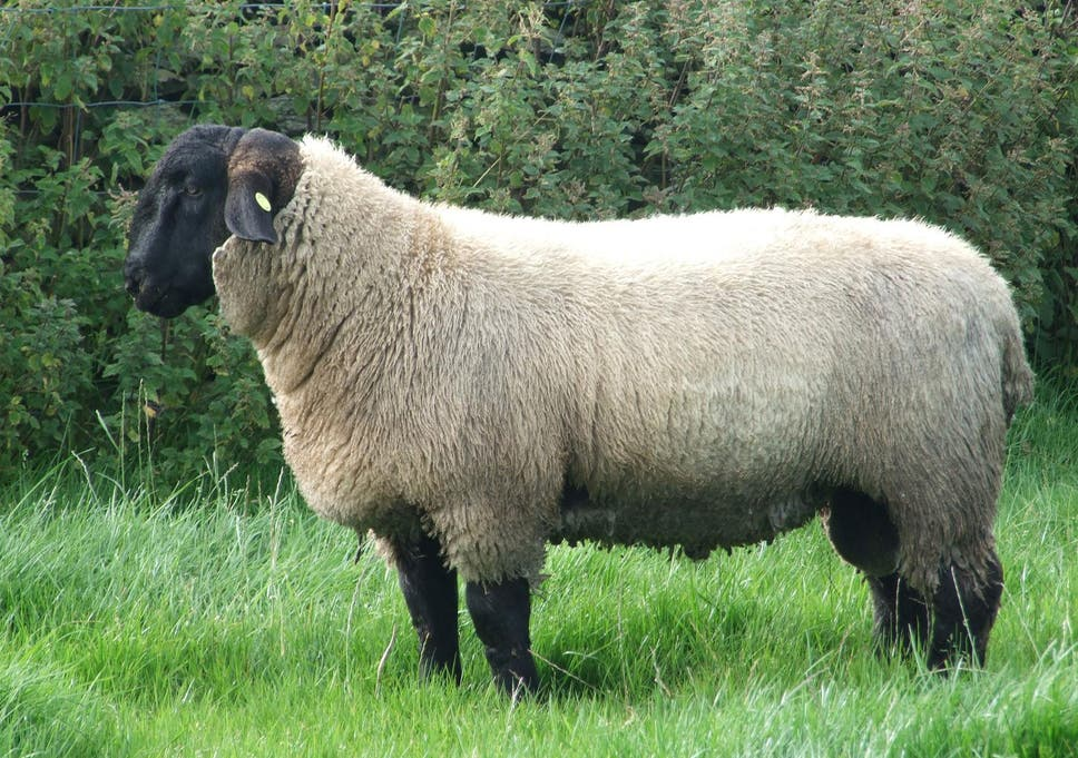 sheep rustling warning issued in somerset after flock of 240