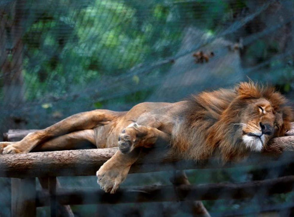 A lion sleeping inside its cage at Caricuao Zoo in Caracas. Zoo staff are reportedly feeding the animals with mangoes and pumpkin to make up for the lack of meat