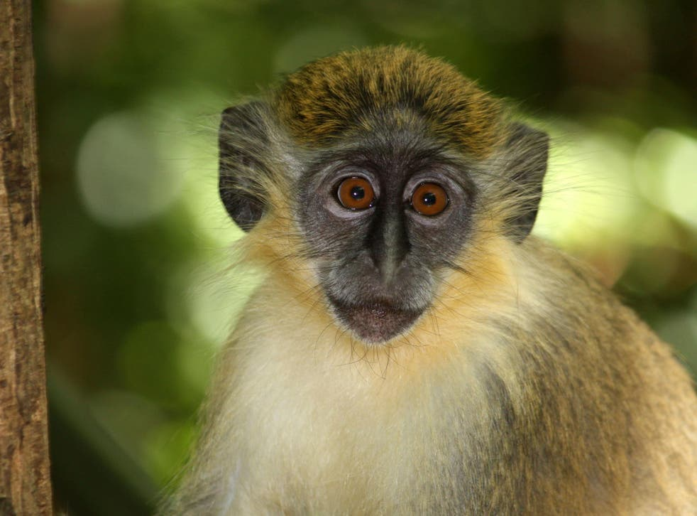Green monkeys first caught the bacterial infection from humans about 2,700 years ago