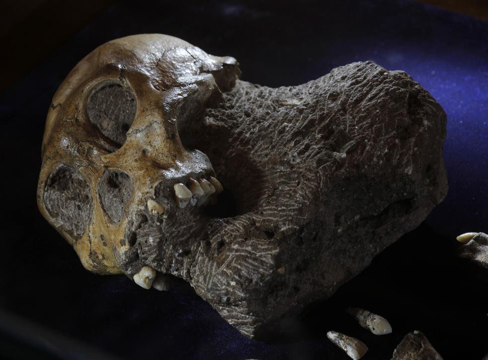 The skeleton of an australopithecine boy – from the same  sits on display at the Iziko South African Museum in Cape Town, April 24, 2010
