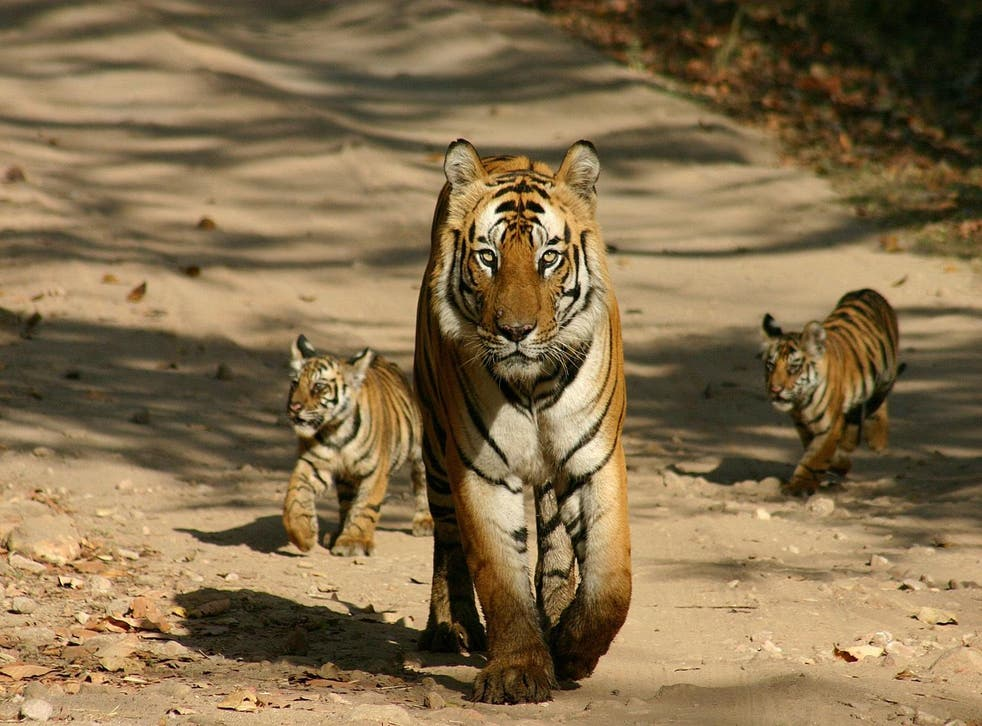 See tigers on a Go Slow trip to India's Satpura National Park