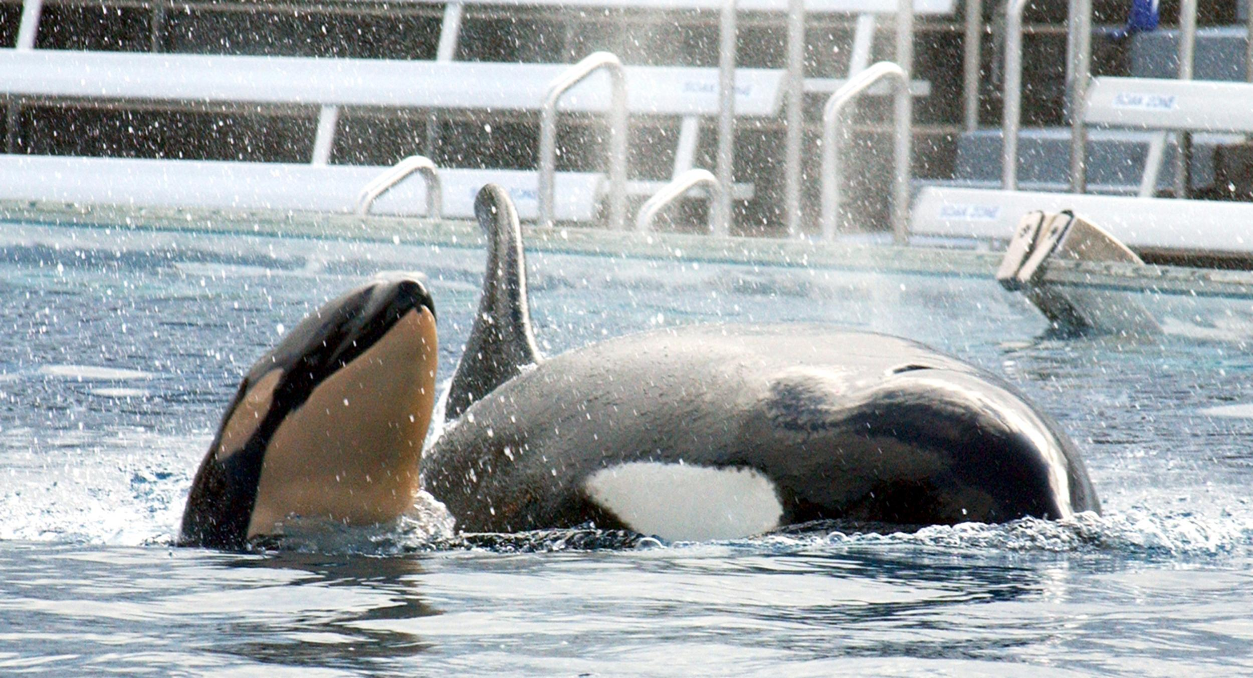 seaworld ceo says ending controversial whale breeding programme