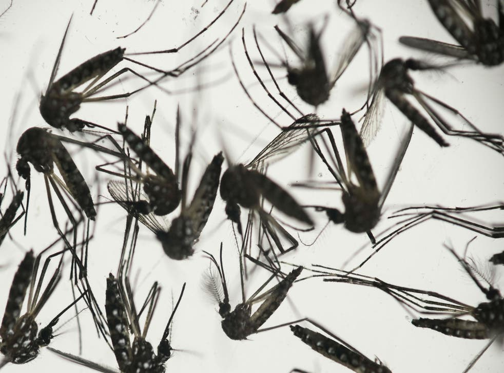 Aedes aegypti mosquito is responsible for transmission of the virus