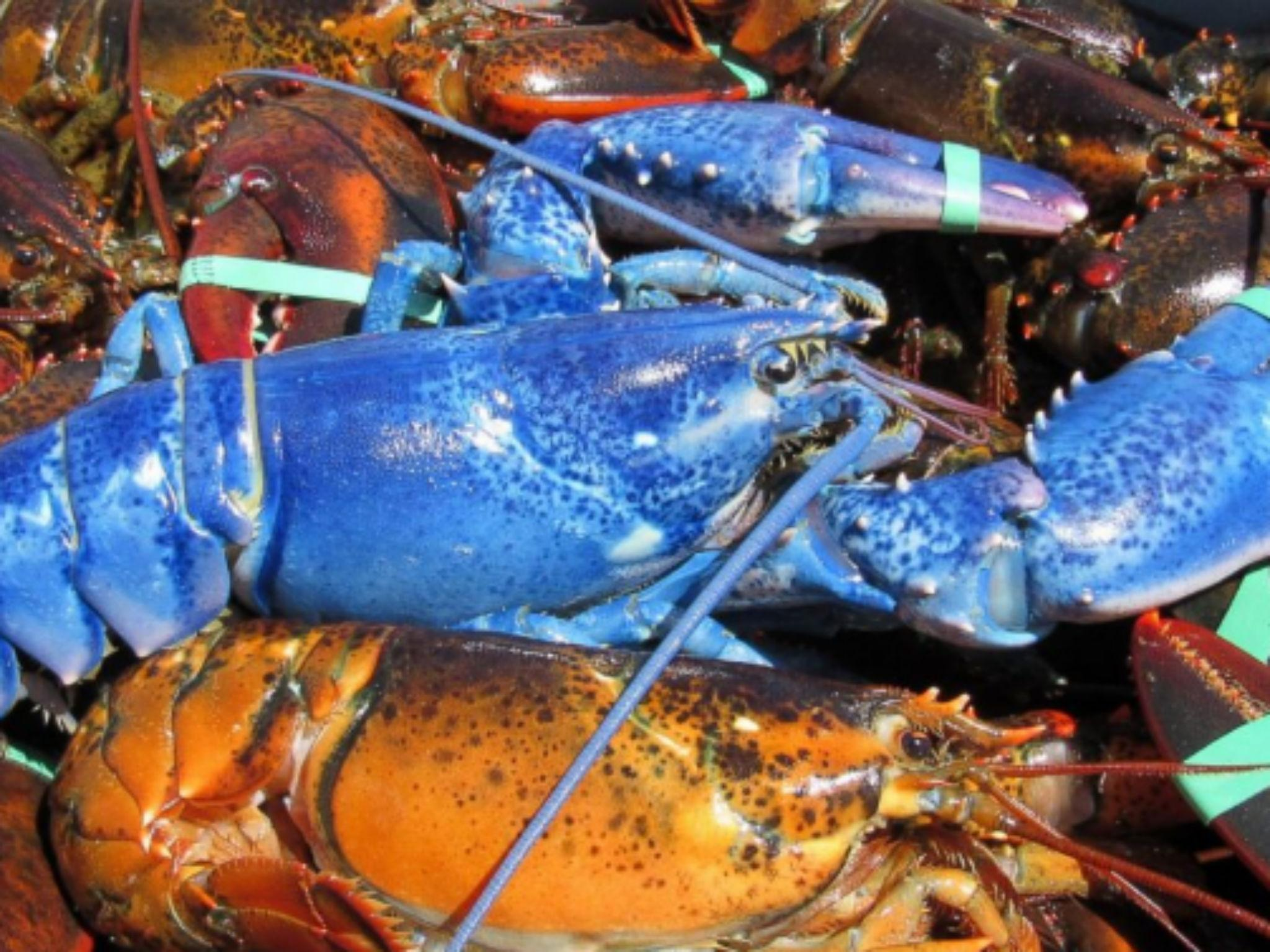 Fisherman catches one-in-two-million bright 'blue lobster ...