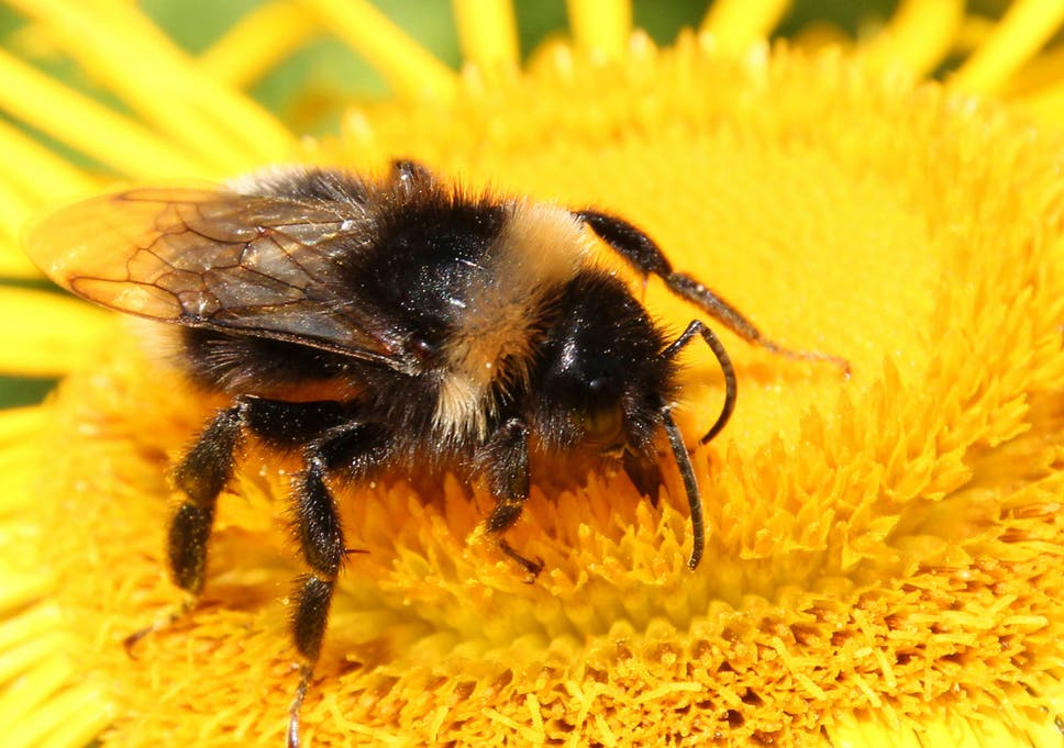 Bumblebees identify flowers by their scent new research reveals buzz and feed bumblebees know where theyre going say scientists mightylinksfo