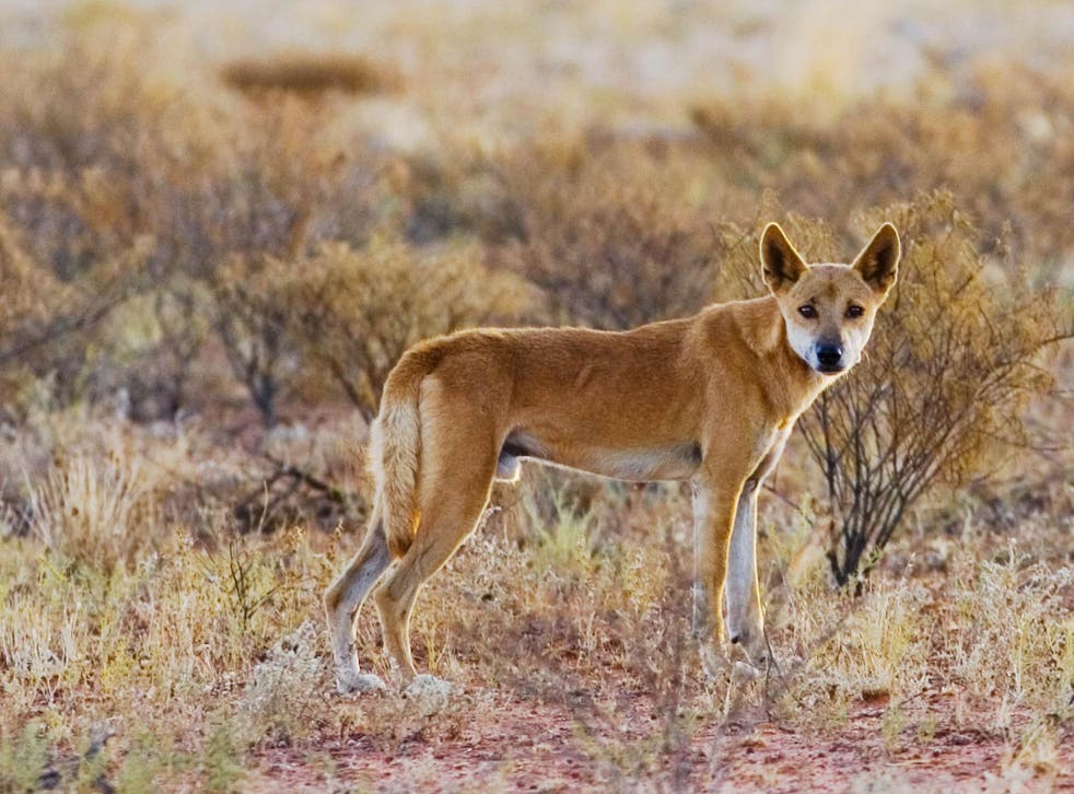 Dr Ben Allen believes cross-breed dingos are having a negative impact on local sheep rearing