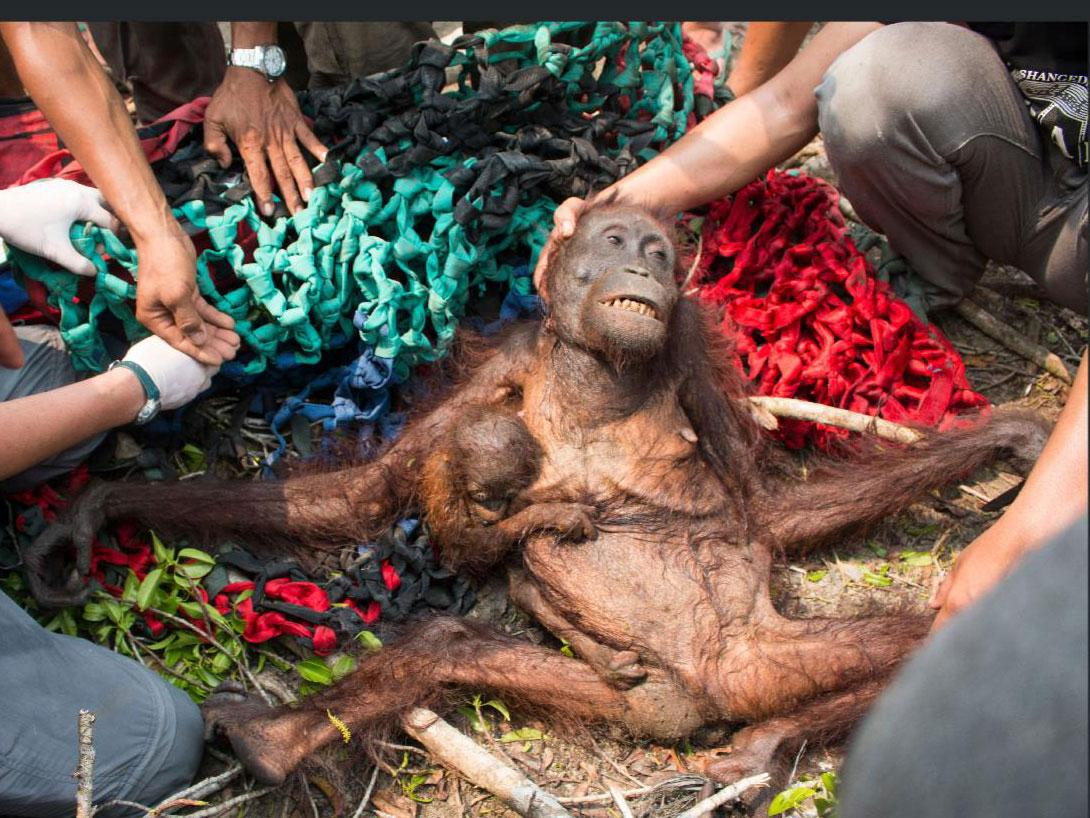 Image of: Threatened Orangutans Face Complete Extinction Within 10 Years Animal Rescue Charity Warns The Independent The Independent Orangutans Face Complete Extinction Within 10 Years Animal Rescue