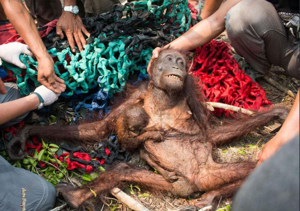 An emaciated orangutan and her child – named Mama Anti and Baby Anti – are rescued by volunteers