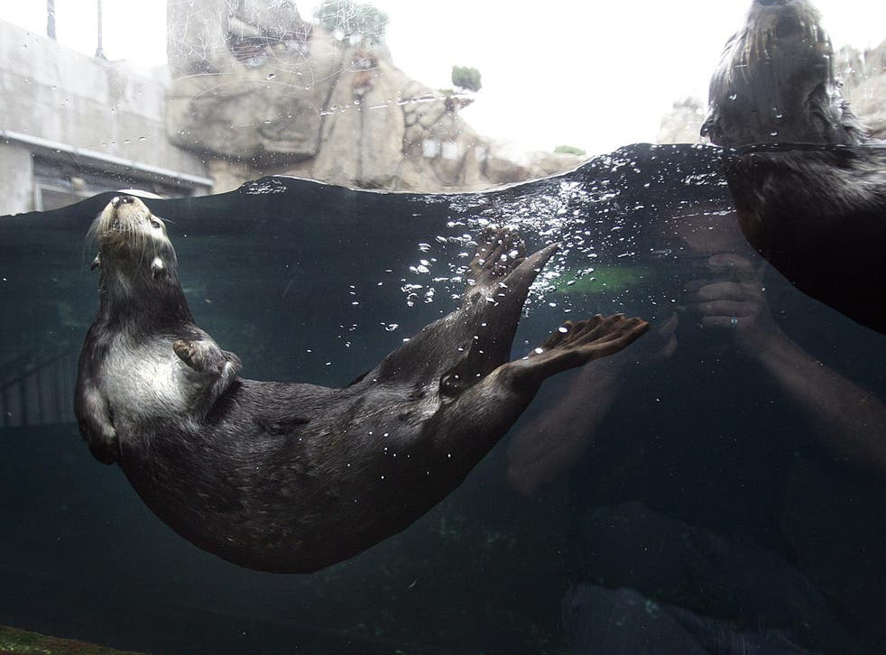 Otters rarely attack humans, but can be territorial