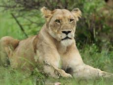 Lion attack: British man mauled by big cat he had raised