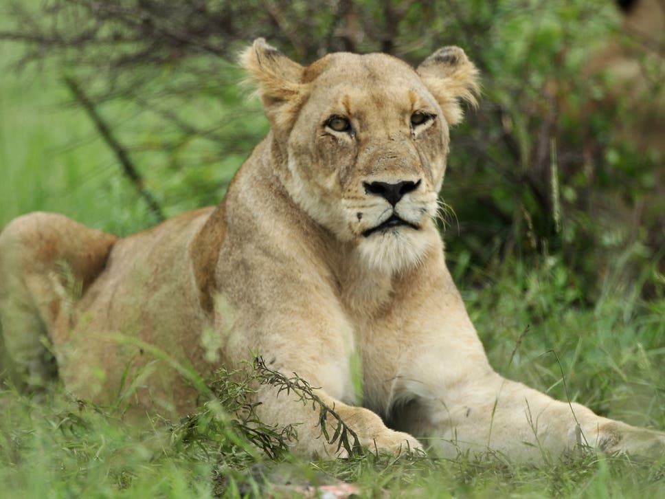 Eleven Lions Killed By Poisoning In Uganda National Park The