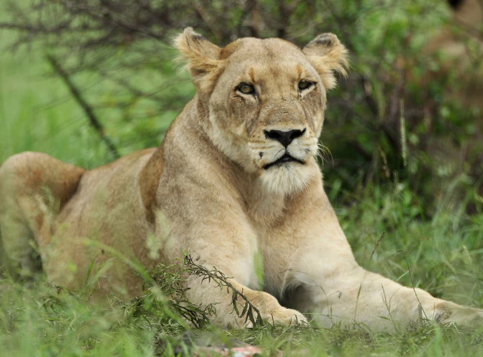 Three females and eight cubs were poisoned in Uganda
