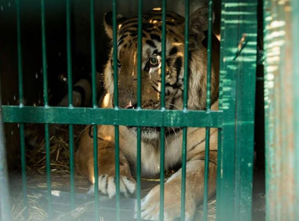 Laziz the tiger was one of the last animals to be evacuated from Khan Yunis Zoo