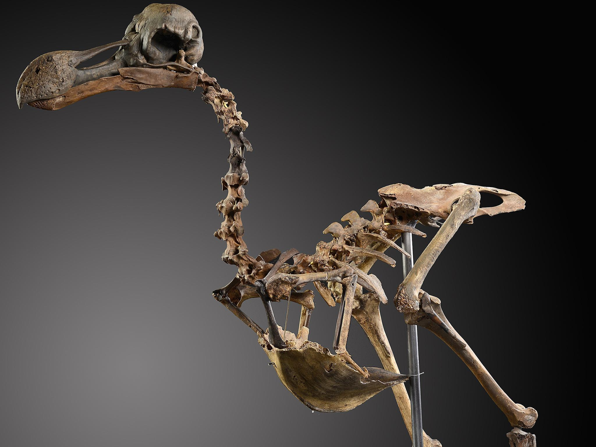 First Dodo Skeleton To Come Up For Sale In 100 Years To Be Auctioned