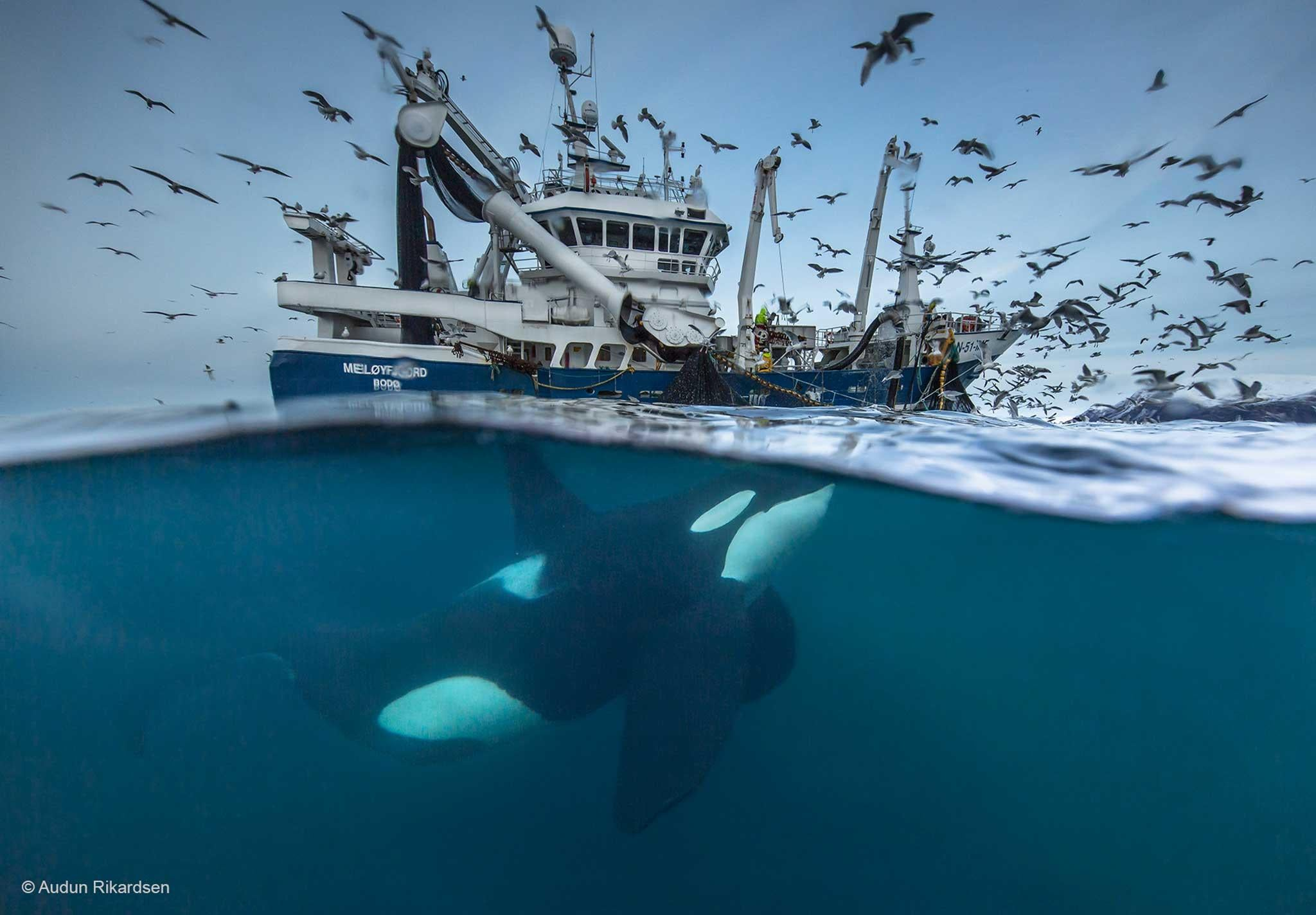 Wildlife grapher of the Year 2016 first images feature orcas