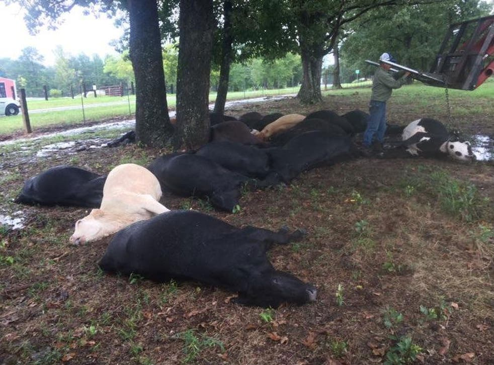 The dead cows were given to locals for meat